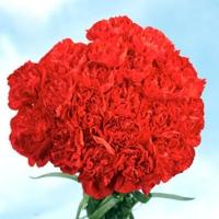 Fabulous Beauty Carnations