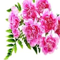 Love Pink Carnations Bunch