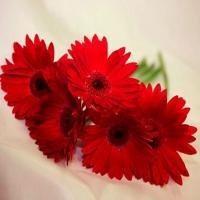 Love Around Gerberas Flowers